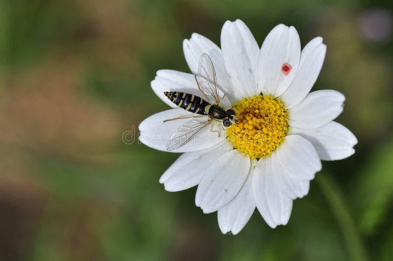 Syrphidae fotografía de archivo