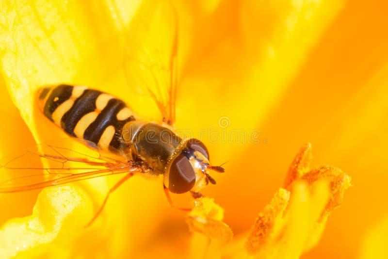 Syrphidae imágenes de archivo libres de regalías