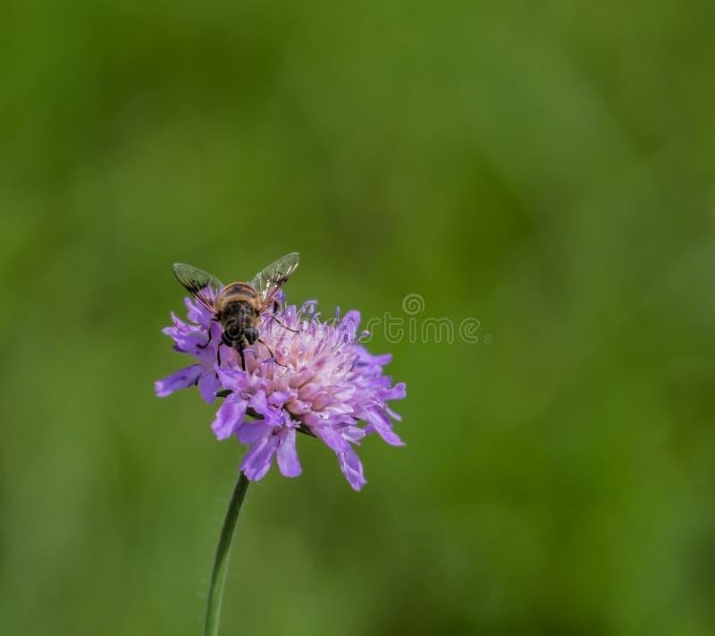 Syrphidae стоковая фотография rf