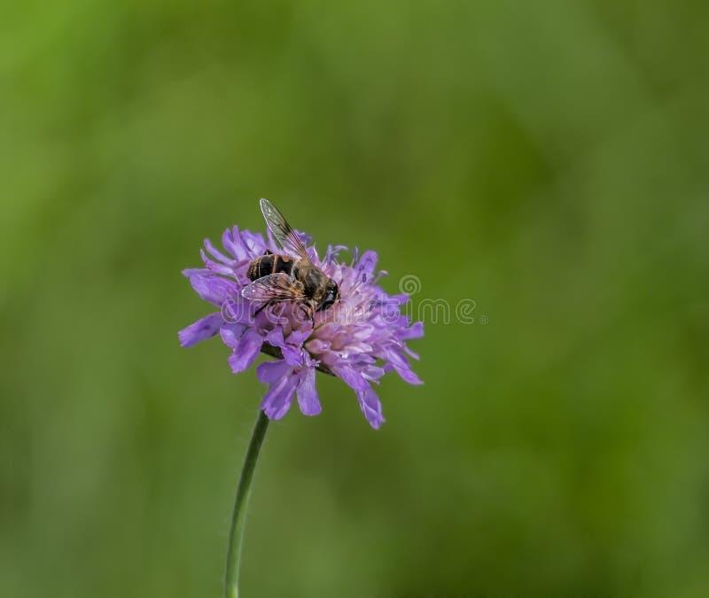 Syrphidae стоковое фото rf