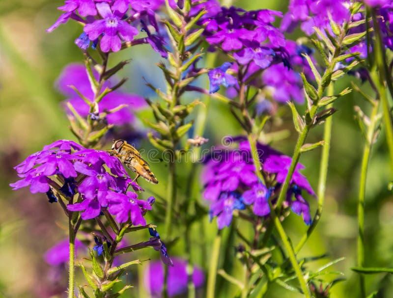 Syrphidae dans son état naturel se repose sur une fleur pourpre le jour d'été images stock