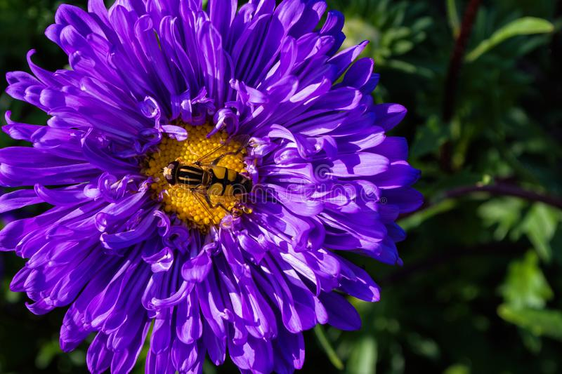 Syrphidae. A family of diptera, insects. A flower fly sits on a purple Aster flower. Syrphidae closeup royalty free stock photography