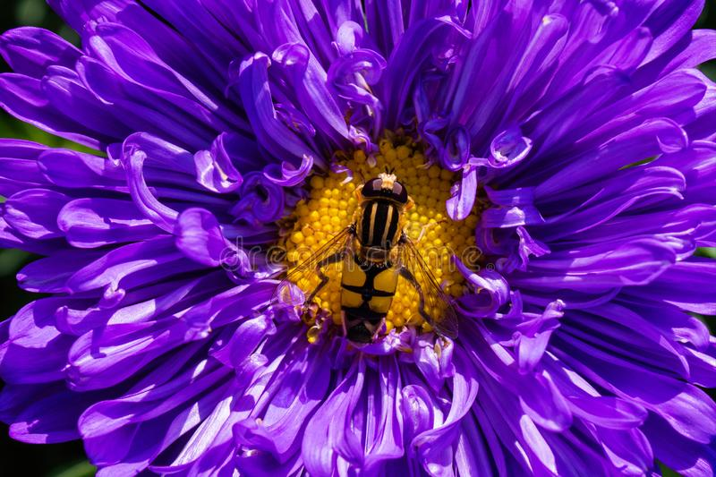 Syrphidae. A family of diptera, insects. A flower fly sits on a purple Aster flower. Syrphidae closeup stock images
