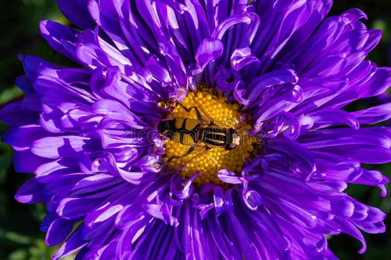 Syrphidae. A family of diptera, insects. A flower fly sits on a purple Aster flower. Syrphidae closeup royalty free stock image