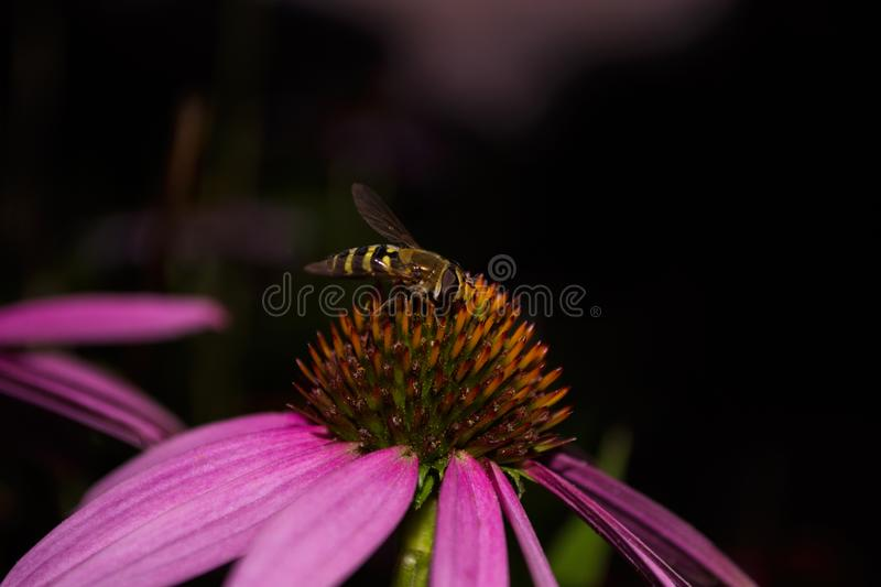 Syrphidae. A family of diptera, insects. A flower fly sits on a purple echinacea flower. Syrphidae closeup. Soft selective focus royalty free stock photos