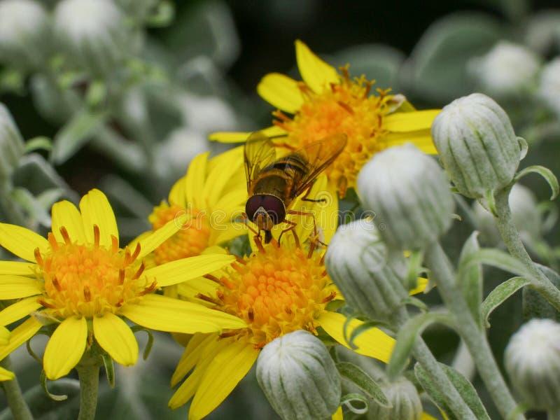 Syrphidae Hoverfly insekt na żółtym stokrotka kwiacie, zakończenie w górę zdjęcie royalty free