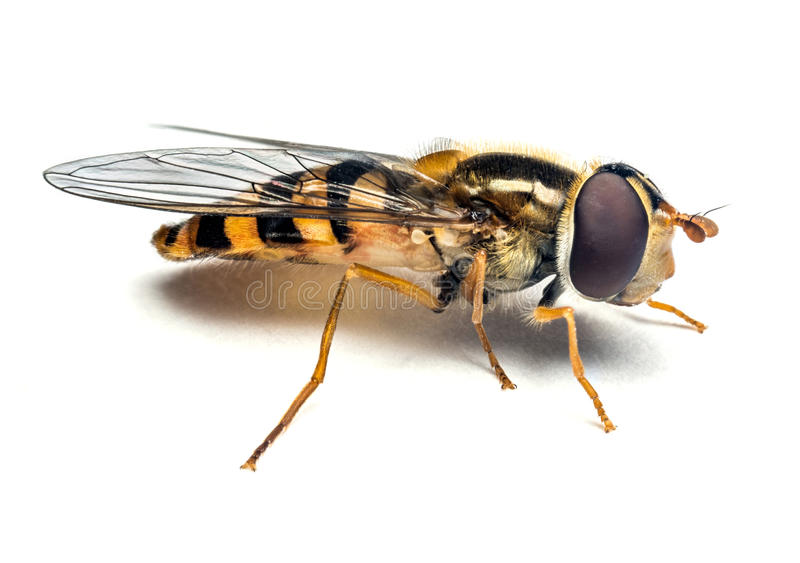 Syrphidae insect macro royalty free stock photo
