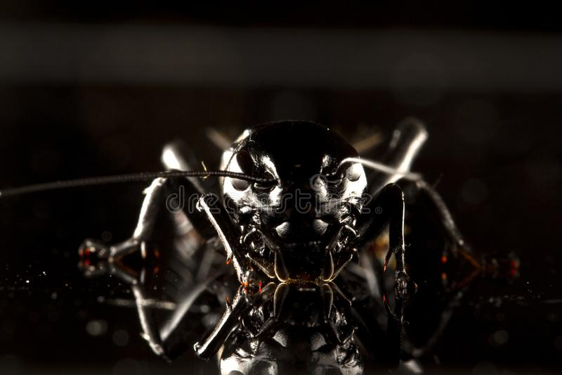 Syrsakryp eller Gryllidae som isoleras på ett svart bakgrundsslut upp royaltyfri foto
