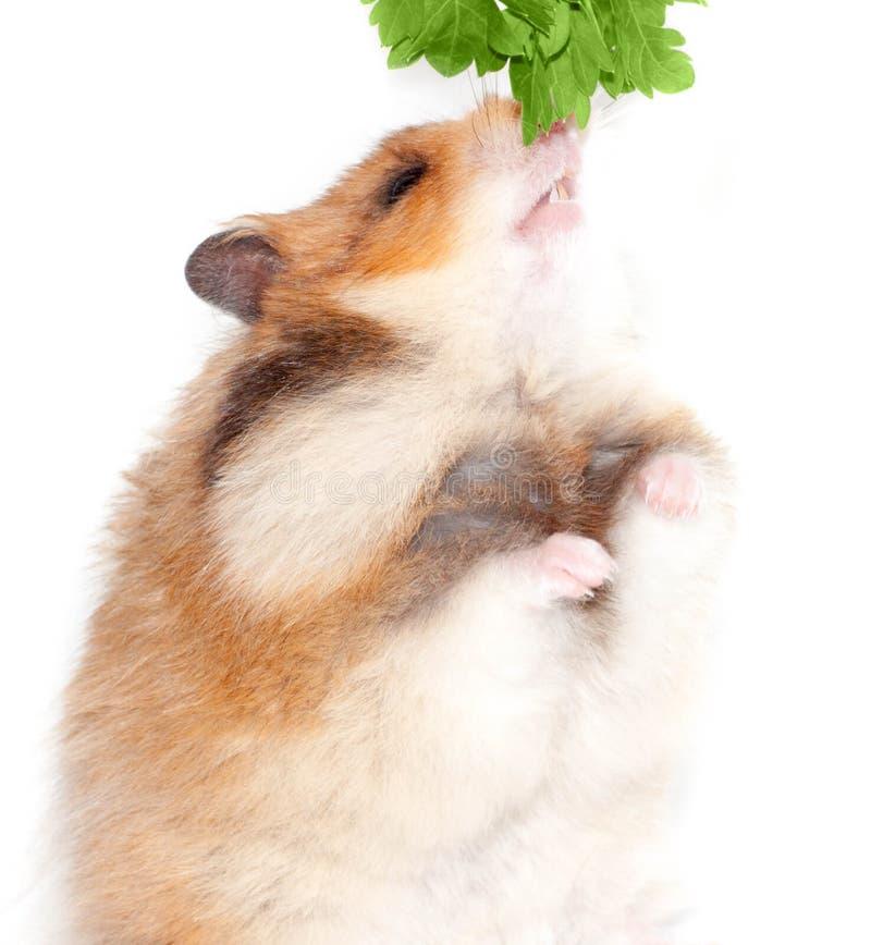 Syryjski chomik je rośliny zieleni pietruszki odizolowywającej na białym tle obraz royalty free