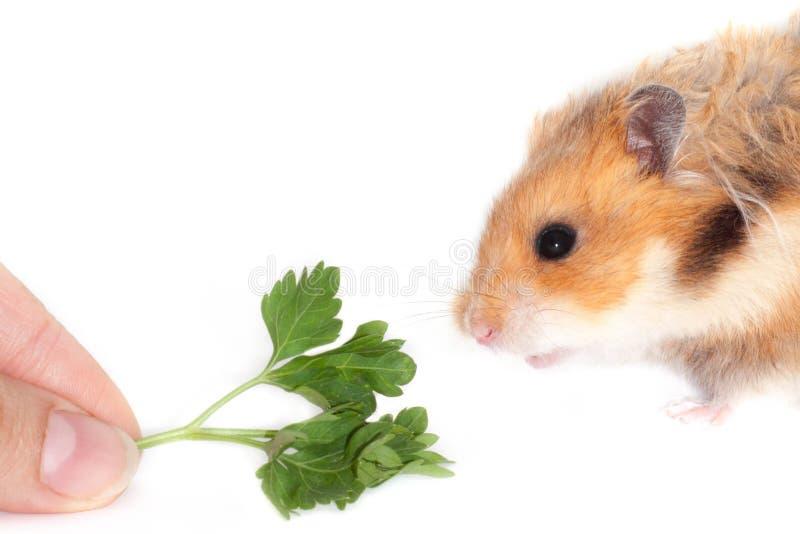 Syryjski chomik je rośliny zieleni pietruszki odizolowywającej na białym tle fotografia stock