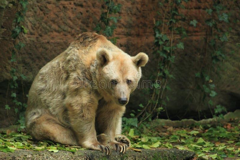 Syryjski niedźwiedź fotografia stock