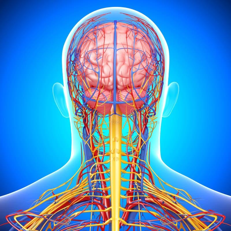 Circulatoire et système nerveux de la tête masculine illustration libre de droits