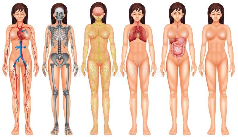 Système de corps illustration libre de droits