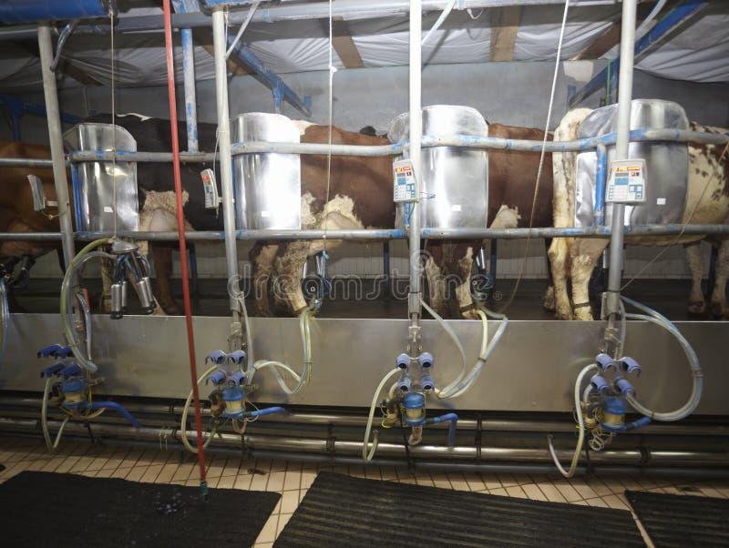 Système de traite automatique de lait d'agriculture de ferme de vache images libres de droits