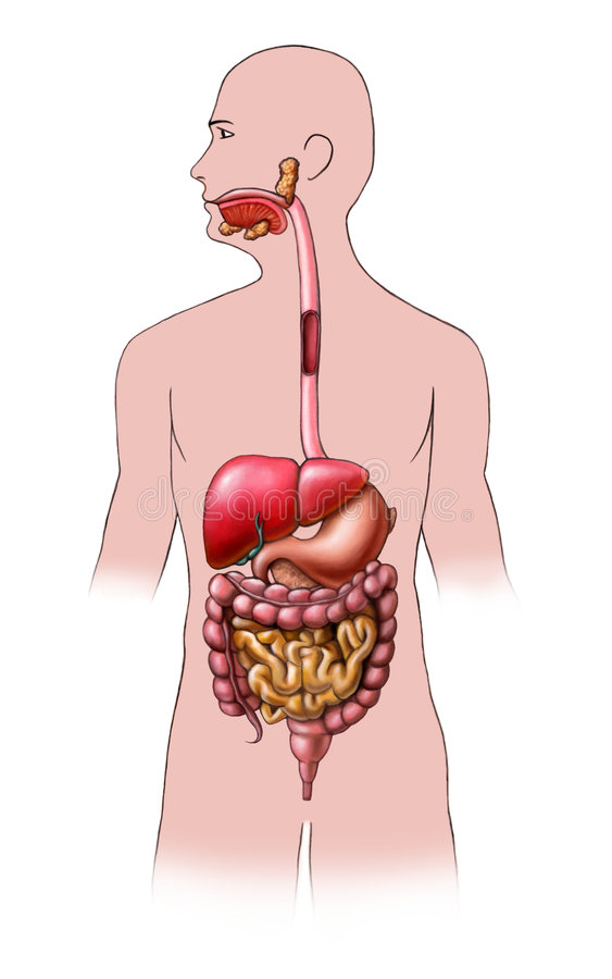 Système digestif illustration libre de droits