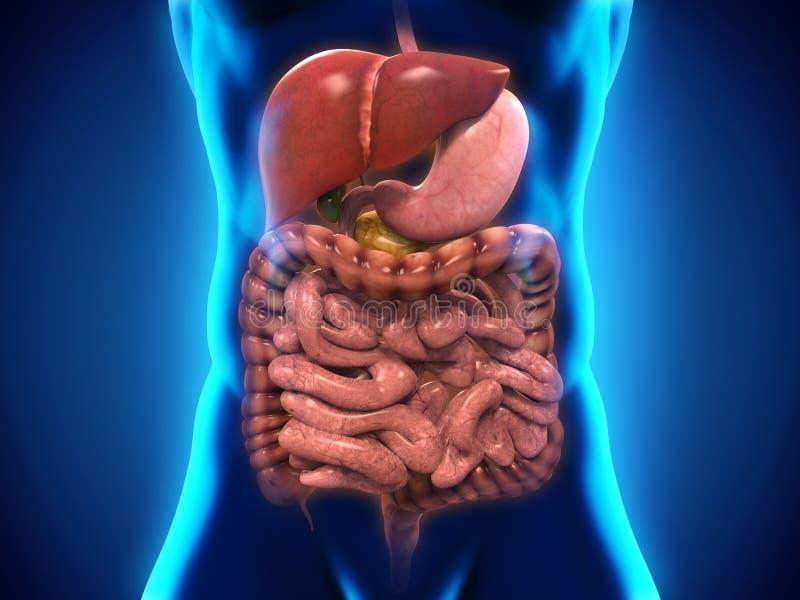Système digestif humain illustration libre de droits
