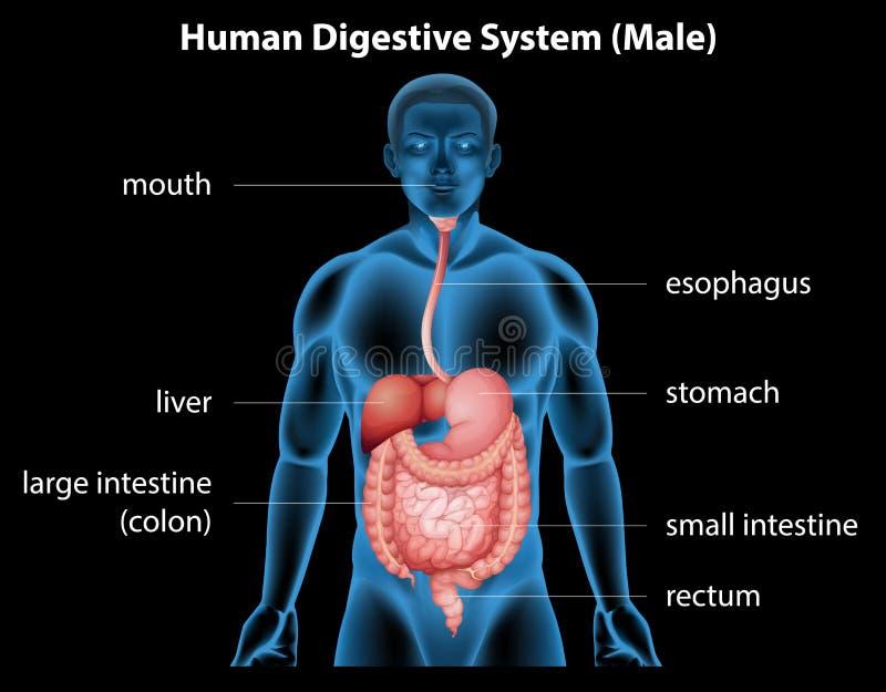 Système digestif humain illustration stock