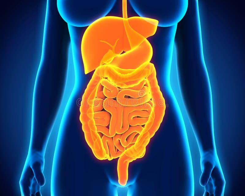 Système digestif humain illustration de vecteur