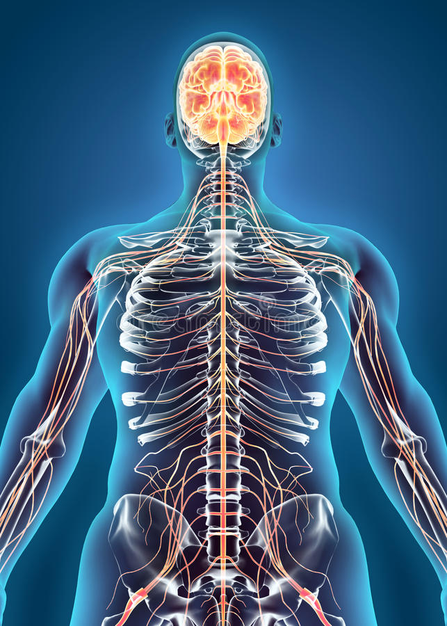 Système interne humain - système nerveux illustration stock