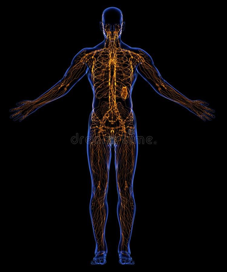 Système lymphatique humain illustration stock