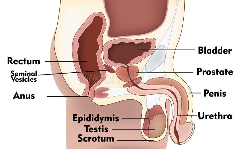 Système masculin de reproduction illustration de vecteur