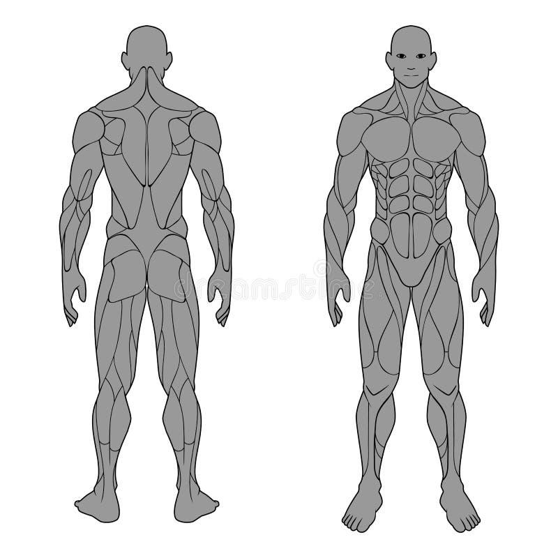 Système musculaire d'homme d'anatomie de corps humain, avant et arrière masculin des muscles affiche médicale plate de plan de gy illustration de vecteur