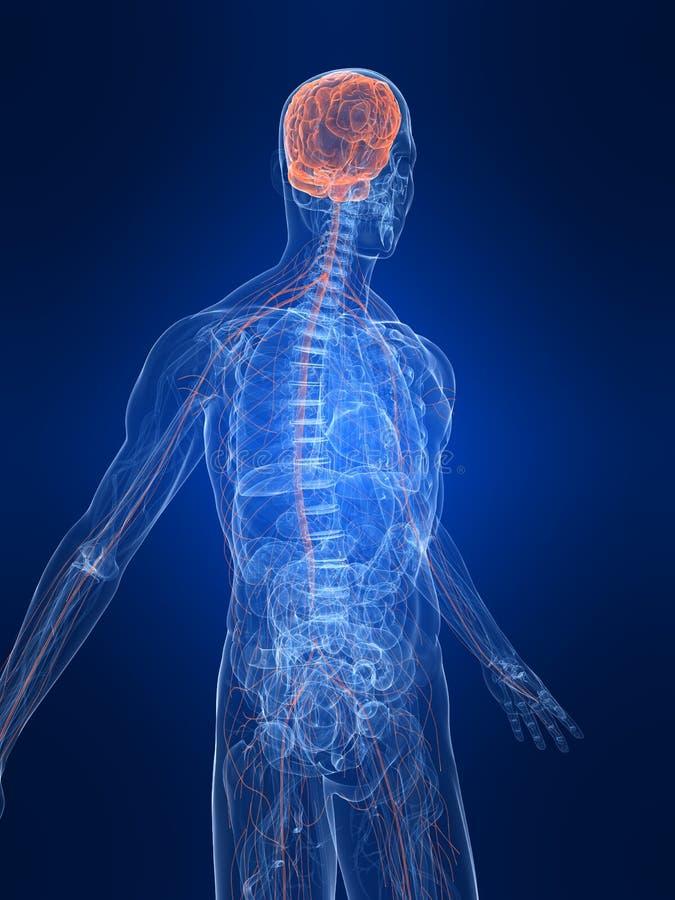 Système nerveux mis en valeur illustration stock