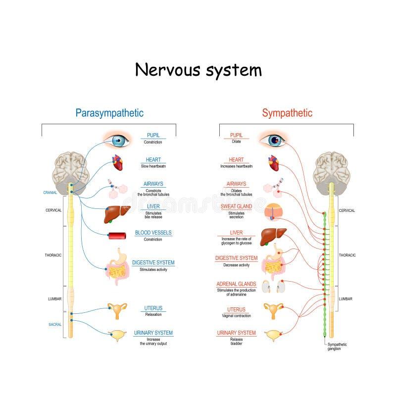 Système Nerveux Sympathique Et Parasympathique Différence illustration stock