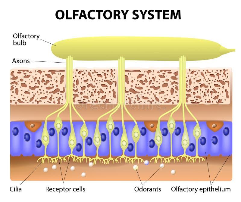 Système olfactif illustration libre de droits