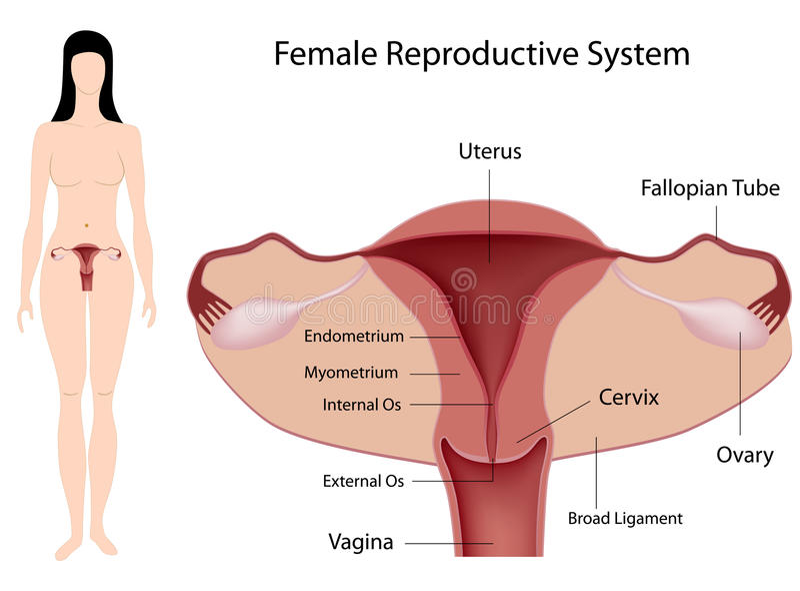 Système reproducteur femelle illustration libre de droits