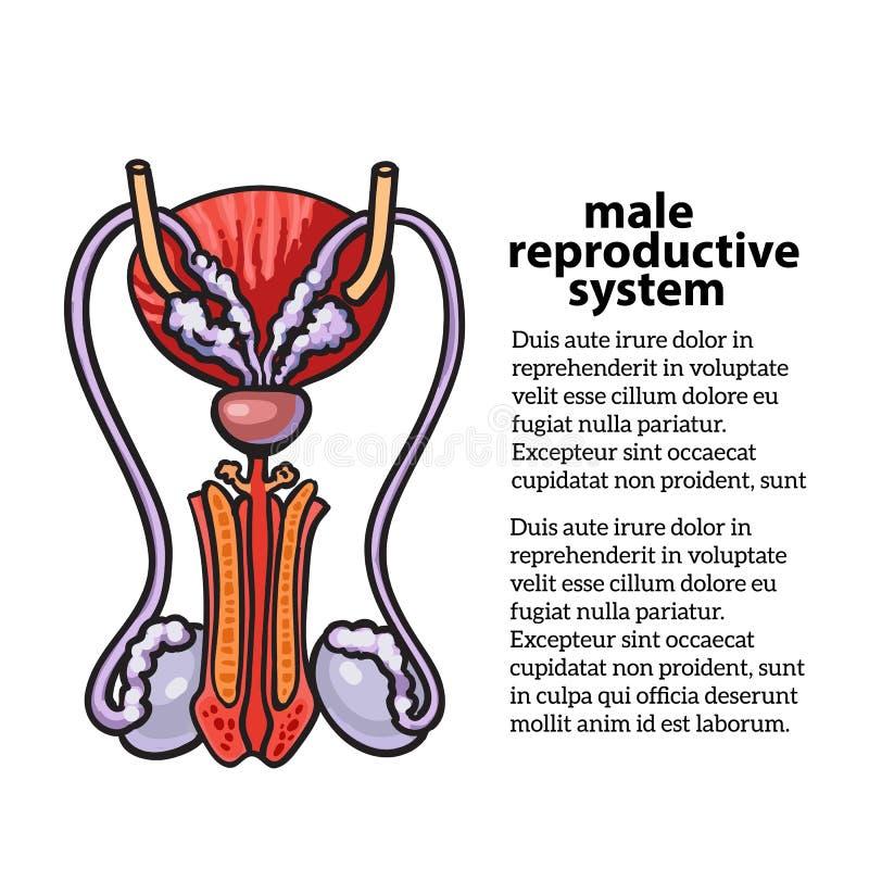 Système reproducteur mâle illustration de vecteur