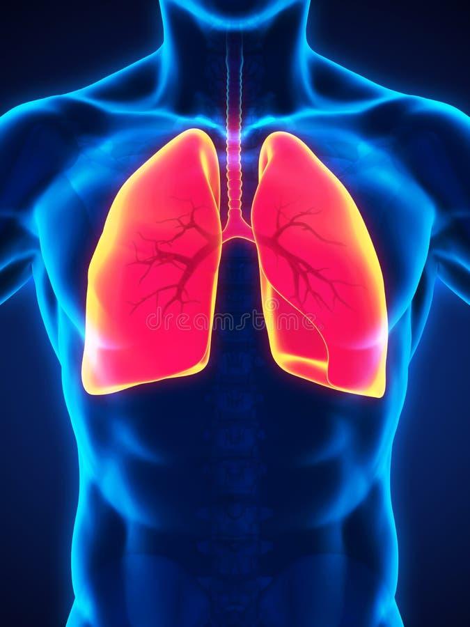 système respiratoire d'illustration humaine digitale illustration de vecteur