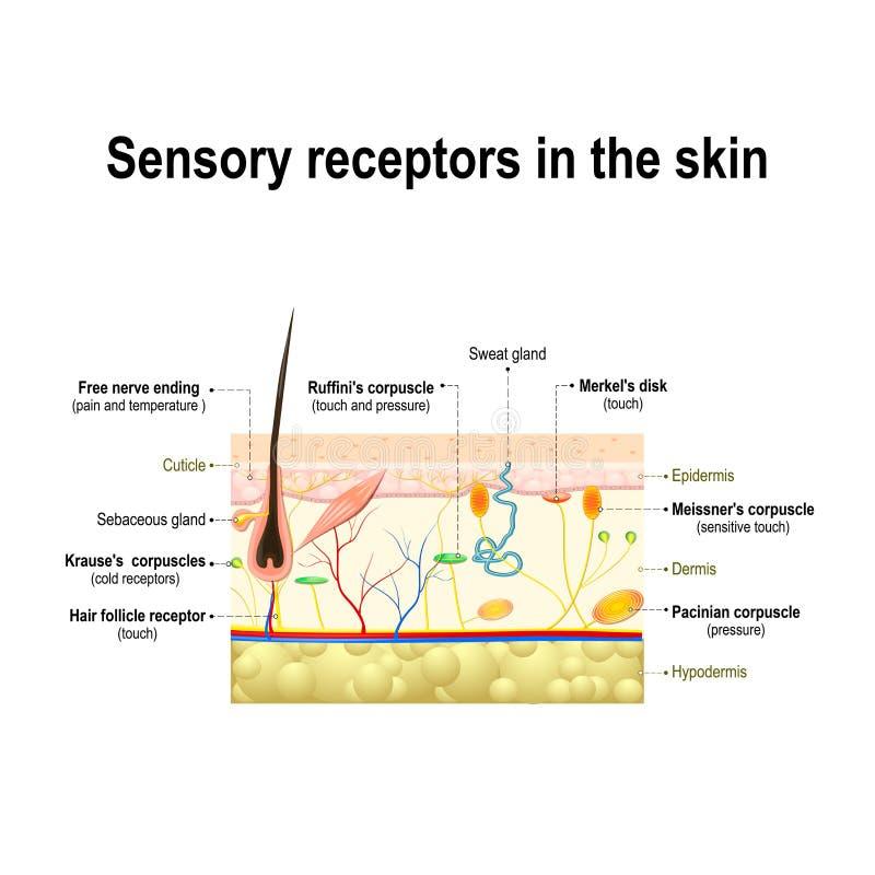 Système sensoriel humain dans la peau illustration stock
