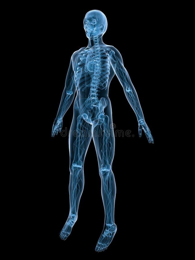 Système vasculaire illustration stock
