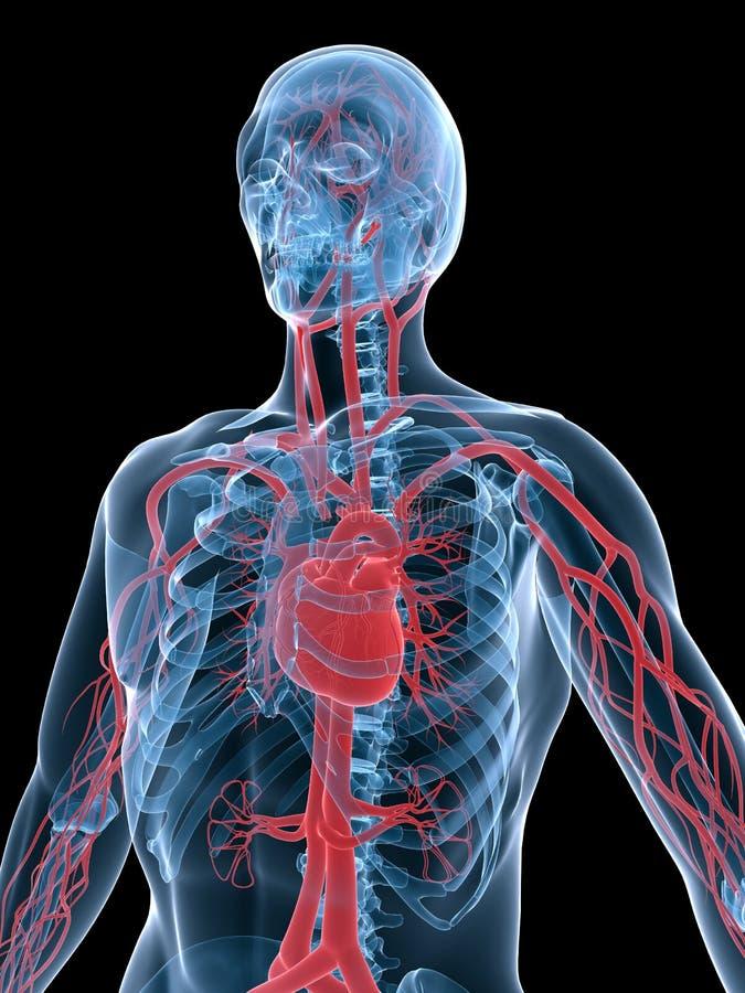 Système vasculaire illustration de vecteur