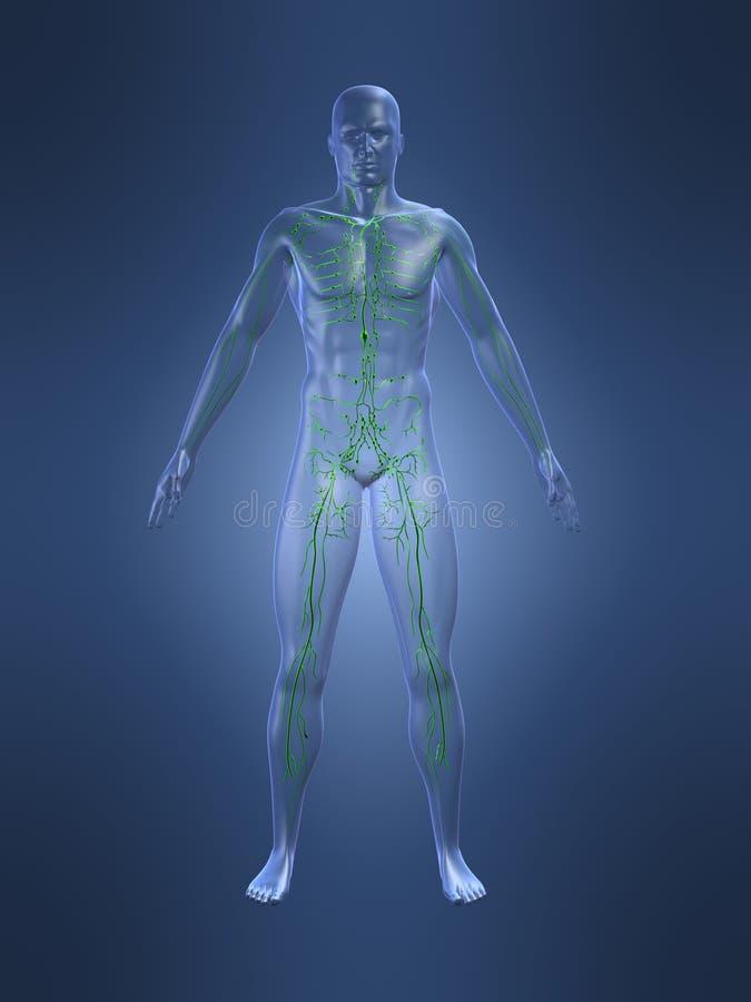 system limfatyczny ilustracji