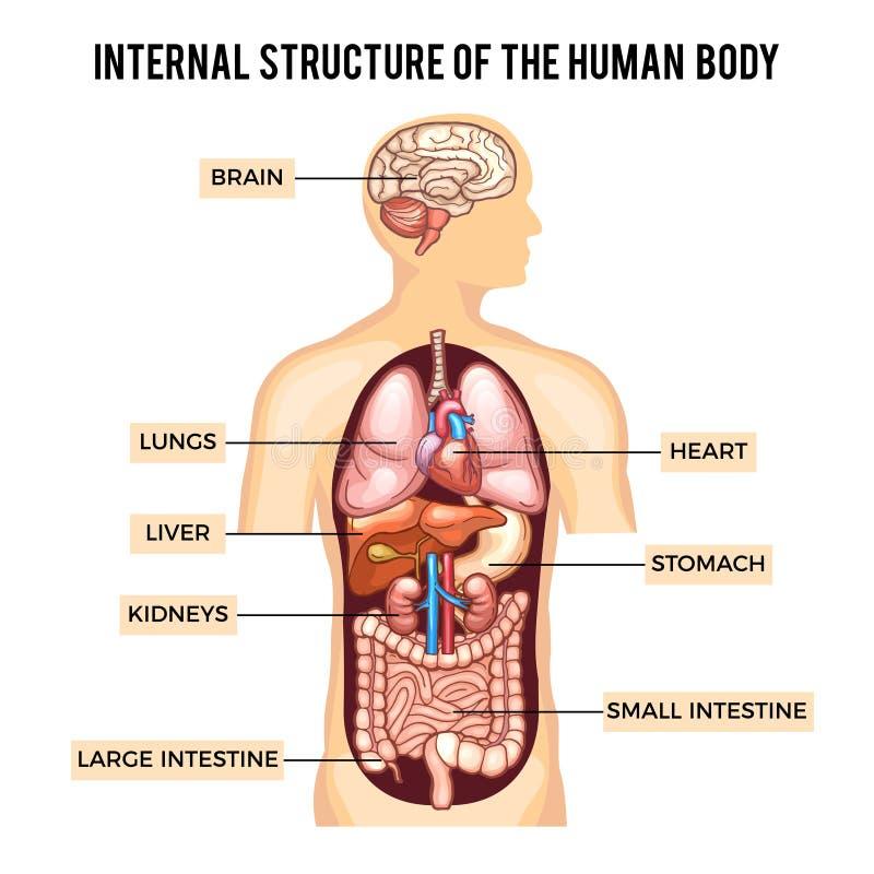 Systeme Des Menschlichen Körpers Und Der Organe Vektor Infographic ...