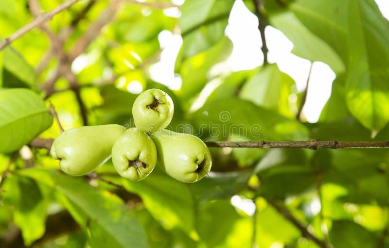 Syzygium malaccense - malajczyka różany jabłko zdjęcie stock