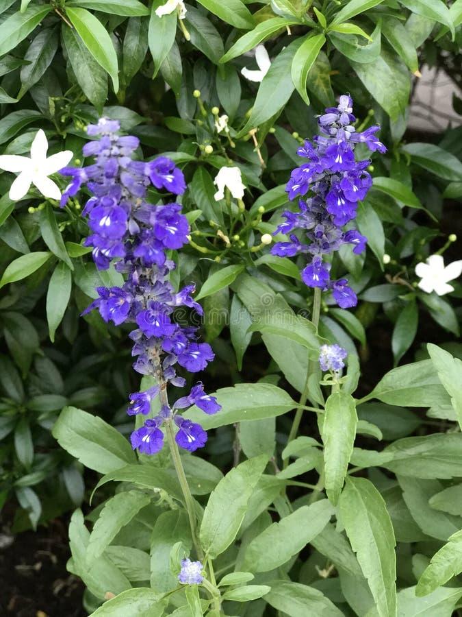 Szałwii farinacea lub Mączystej mędrzec kwiat zdjęcia royalty free