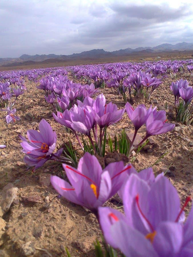 Szafranowy kwiat obrazy stock