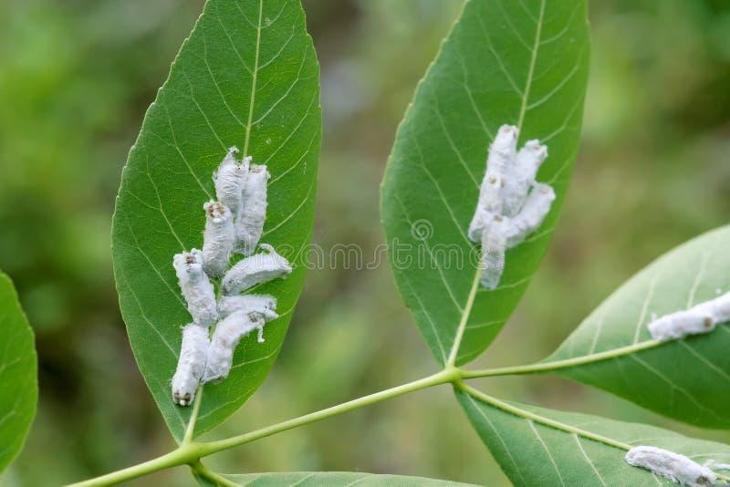 Szalkowy insekt obraz royalty free