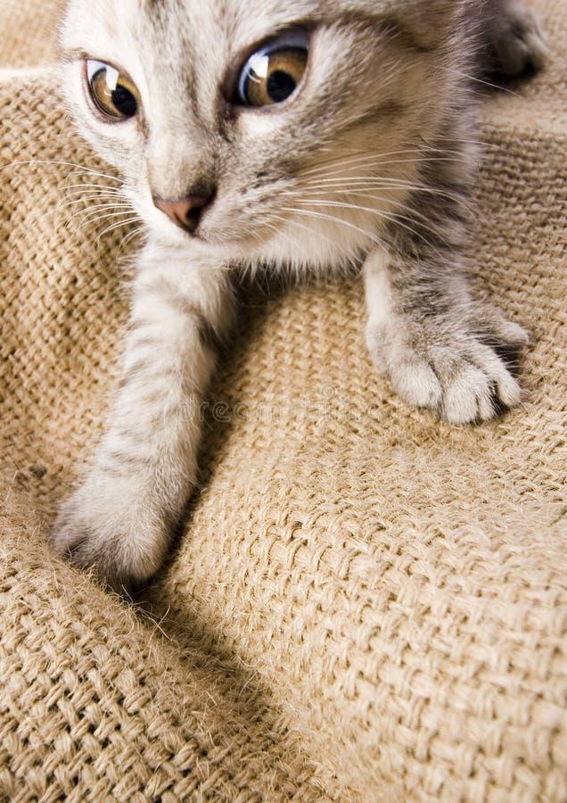 szalony kot zdjęcie royalty free