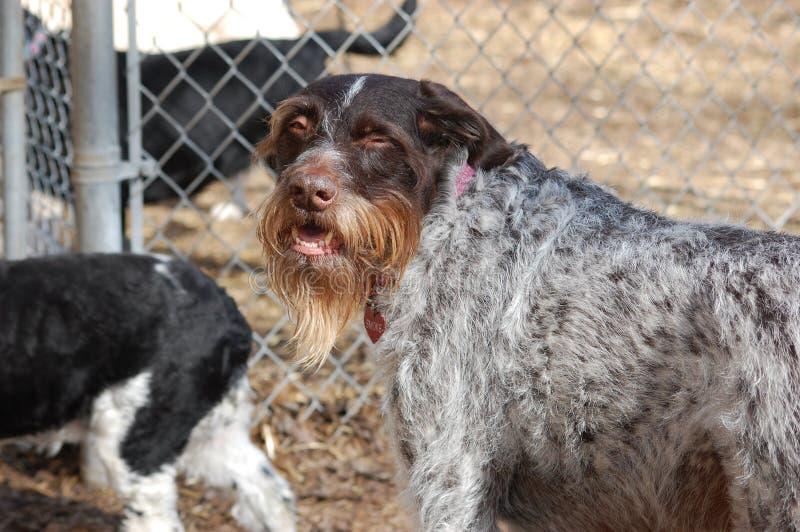 Szalony przyglądający koźli istota ludzka pies z brodą zdjęcia stock