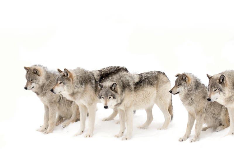 Szalunków wilki na białym śnieżnym tle fotografia royalty free