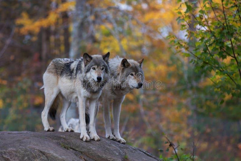 Szalunków wilki na skalistej falezie obraz royalty free