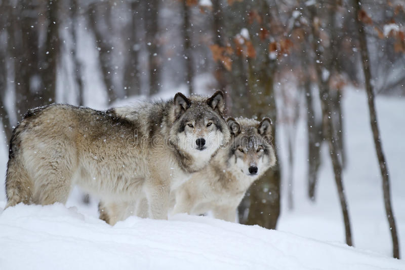 Szalunków wilki w zimie obrazy stock