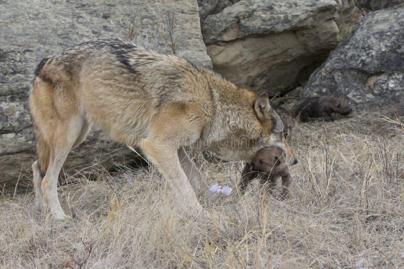 Szalunku wilka matki przewożenia ciucia fotografia royalty free