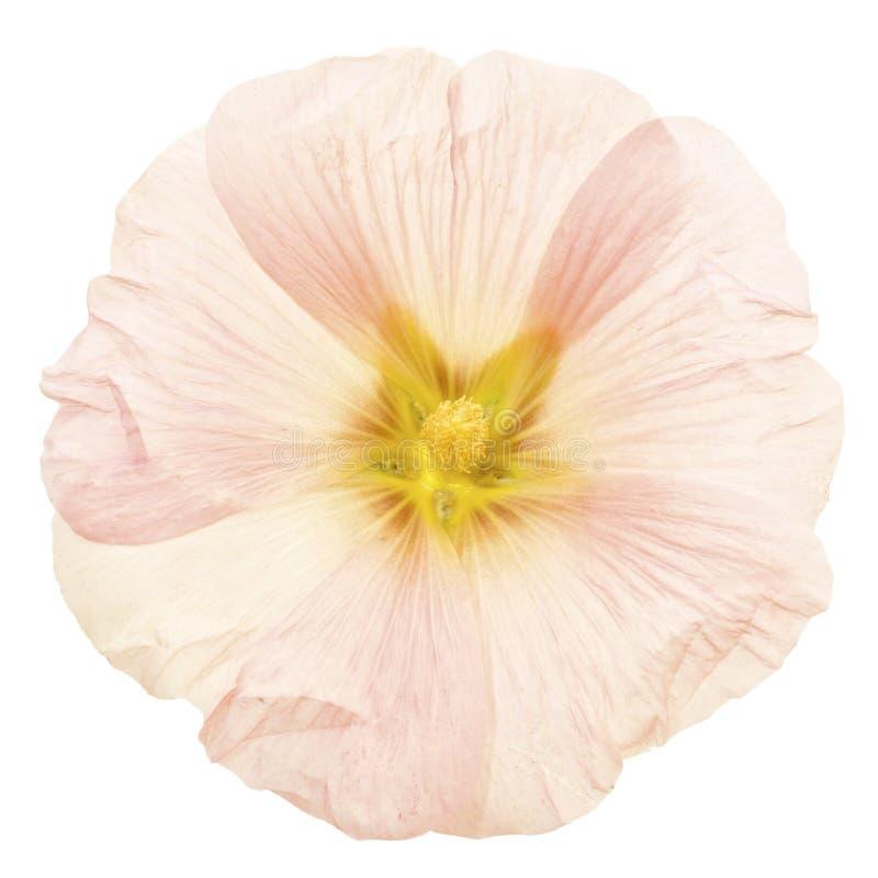 Download Szampana Hollyhock Różowy Okwitnięcie Odizolowywający Zdjęcie Stock - Obraz złożonej z okwitnięcie, kwiecisty: 57667330