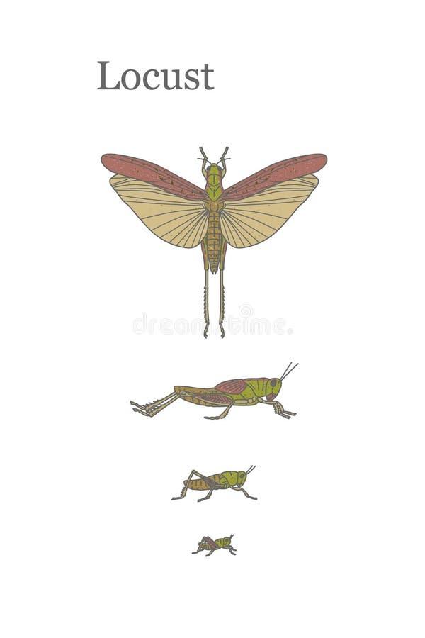 Szarańczy - całkiem wielki insekt który może uszkadzać uprawy w polach ilustracji
