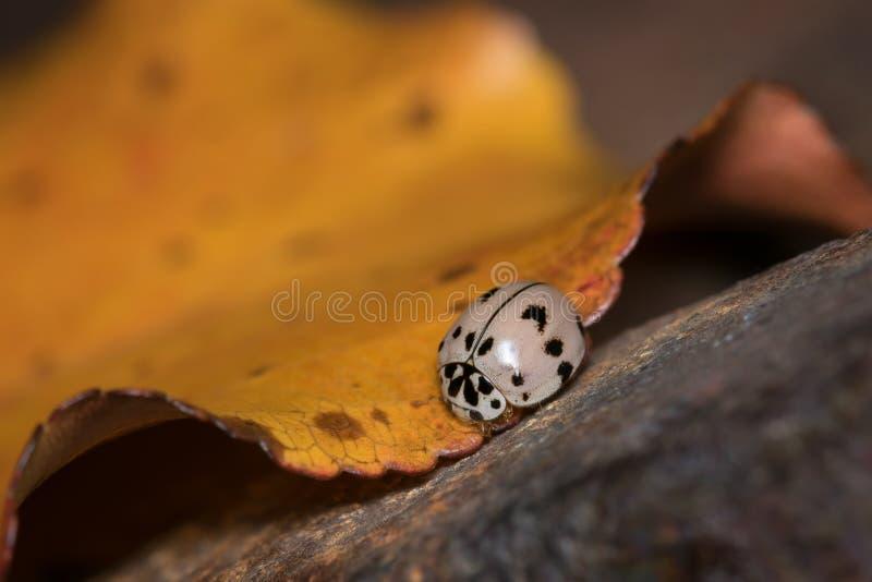 Szara biedronka na kolor żółty Wyginającym się jesień liściu fotografia royalty free